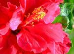 Домашняя китайская роза — гибискус