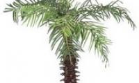 Уход за пальмой в домашних условиях