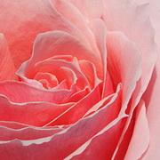 Чтобы розы стояли дольше