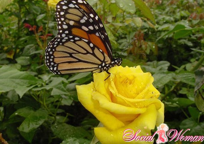 Что означают желтые розы