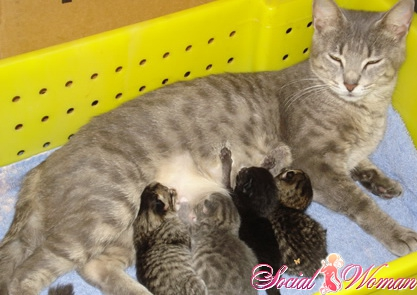 Признаки беременности у кошек