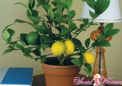 Как ухаживать за лимоном во время цветения